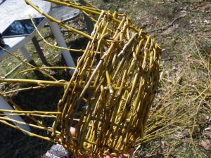 Learning basket weaving from downed black willow