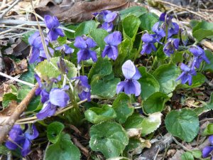 Violets! Yay and Yum!
