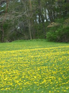 More than enough dandelion here for wine, jelly, dye, food, and the insects!
