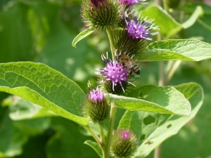 Burdock and the Honeybee
