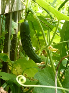 Cucumber almost ripe