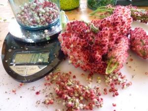 Staghorn Sumac berries as medicine
