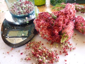 Staghorn Sumac berries as medicine