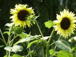 Sunflowers embrace the sun!