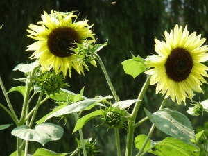 Sunflowers embrace the sun!