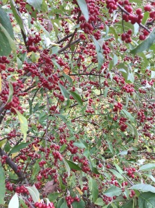 A very abundant fruiting bush!