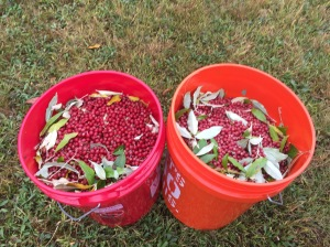 10 gallons of autumn olive in one hour with three people harvesting--when its good, its really good!