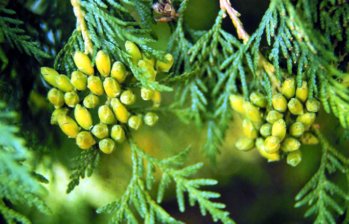 Sacred tree profile eastern white cedar thuja occidentalis the thujaoccidentalis mightylinksfo