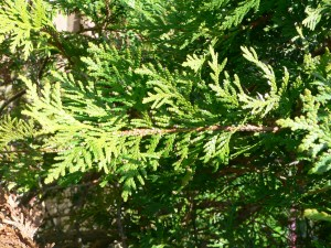 Closeup of Cedar Branch (Courtesy of Wikipedia)