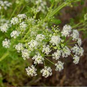 Poison Hemlock (courtsey of Wikipedia)