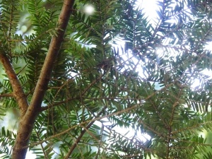 Beautiful (adelgid free) hemlock trees