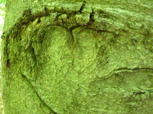 This beech has a heart--another kind of message in the bark.