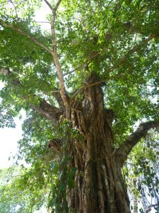 King of the Forest- A Tree in Costa Rica!