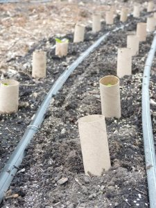 Chard in protective tubes