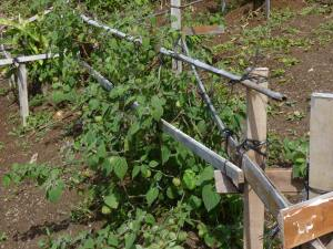 Trellis for ground cherry from scrap lumber