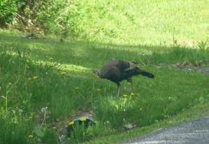Wild Turkey Feasting on Dandelion