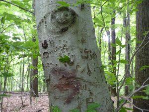 Beech tree with Arborglyphs