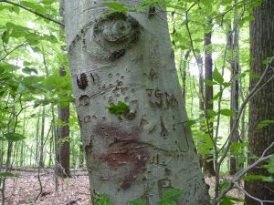 Beech tree with Arborglyphs