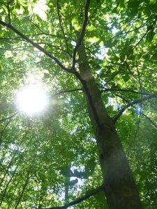 Laying under the Beech