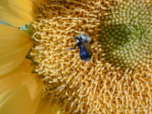 Bee on a sunflower!