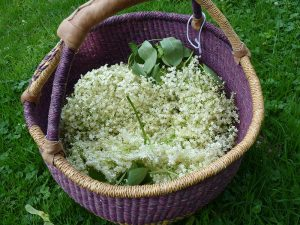 Elder harvesting basket with very tight weave