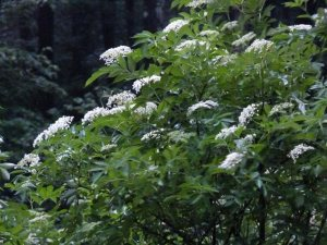 Elder bush in full flower