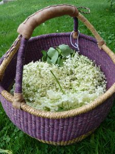 Elderflower gathered at the summer solstice