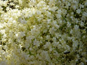 Elderflowers!
