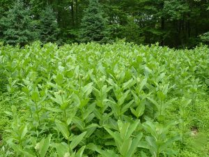 A field of milkweed--a rare sight today.