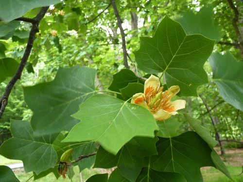 The incredible tulip tree with its beautiful tulip-shaped leaves and showy flowers!