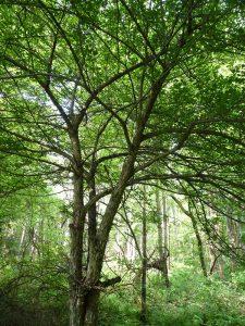 A hawthorn tree...