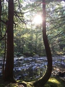Hemlocks in the Path of the Sun