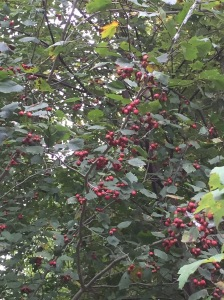 A hawthorn loaded for harvesting! (This one was very friendly!)