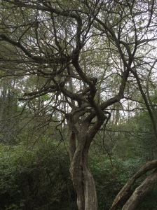 Not all grandmother trees are enormous--this ancient hawthorn may grow in the understory, but she has much to teach.