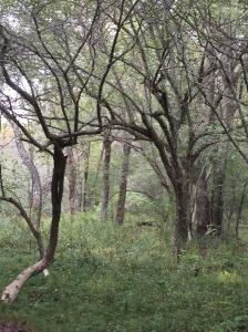 Hawthorns form a gateway