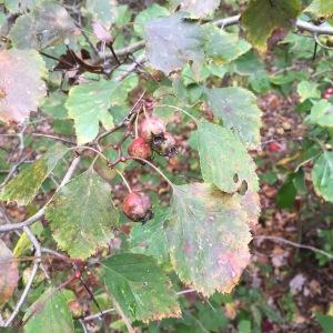 Example of hawthorn rust