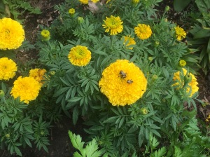 Insect life on the marigolds
