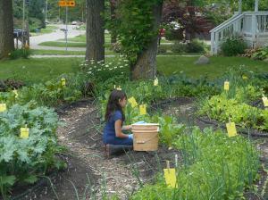 Child helps harvest lettuce greens!