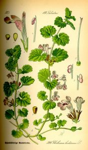 Ground Ivy Botanical Illustration