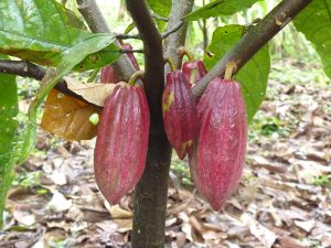 ustainably raised Cacao for Chocolate Making in Costa Rica