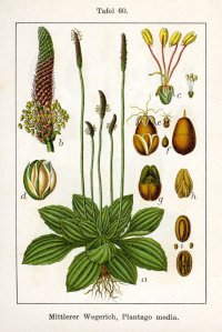 Botanical Illustration of Broad-Leaf Plantain