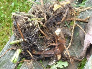 Medicinal plant roots