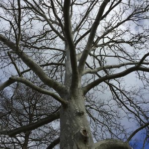 One of my favorites sycamores to sit under and heal