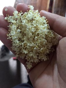 Elderflower in hand....ready to make into medicine. Thank you, elder!