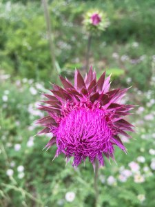 Patterns of nature in a thistle!