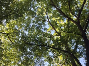 The forest canopy of walnuts!