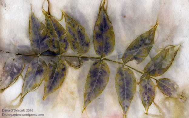 Ecoprint of Walnut Leaves