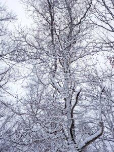 Amazing snowy sassafras