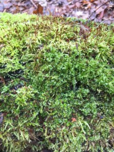 Moss at the winter solstice!