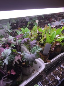Trays of small plants from seed!